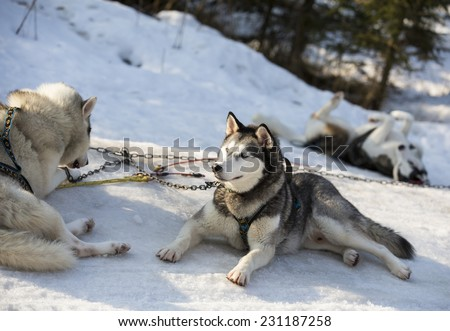 Huskies resting after a run. - stock photo