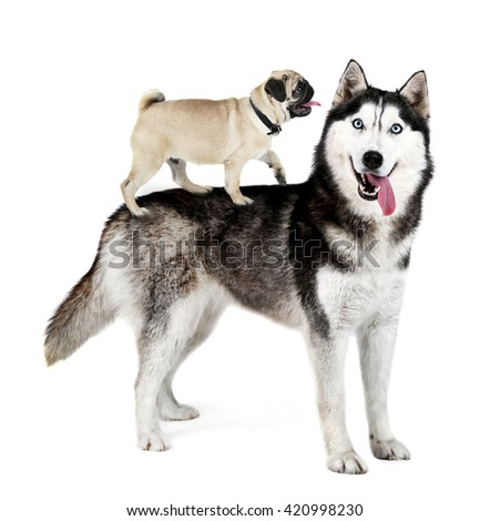Husky and pug dog on his back, isolated on white