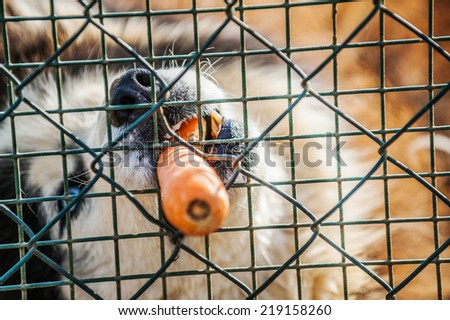 Husky dog breed in jail and gnaws carrot. - stock photo