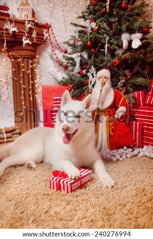 Husky Dog Christmas decor - stock photo