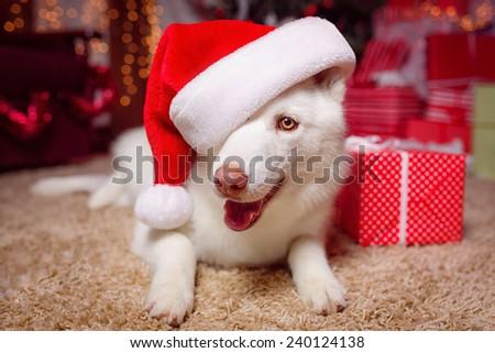 Husky dog in santa hat - stock photo