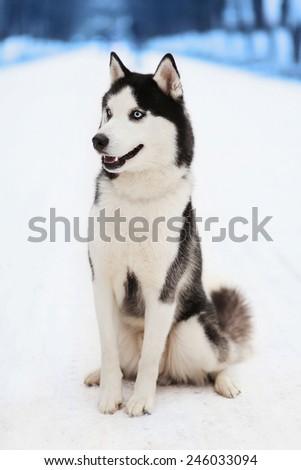 Husky dog in winter day - stock photo