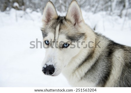 Husky dog in winter outdoors - stock photo