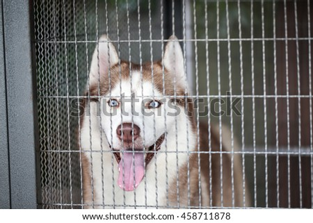 Husky dog locked in a cage - stock photo