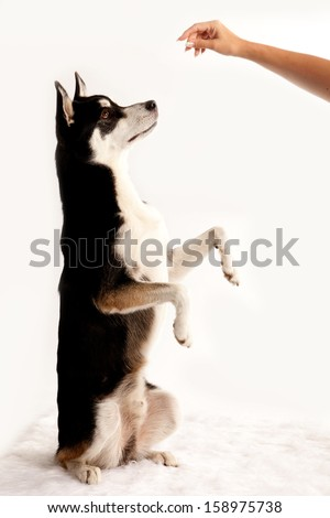 Husky Dog Obedient Up - stock photo