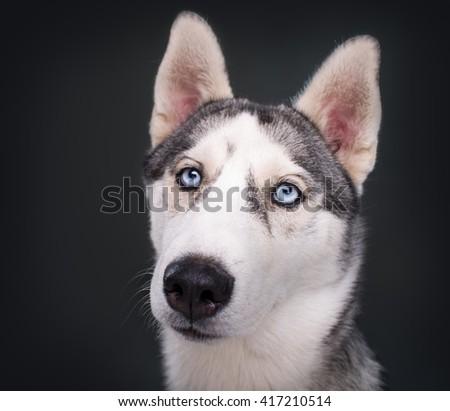 Husky Dog on a black background - stock photo