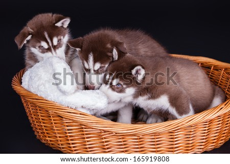 Husky dog puppies one month old in a basket over black background