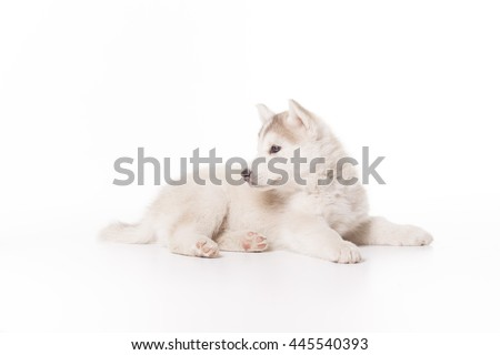 Husky dog puppy laying white background, almost isolated, high key.