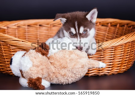 Husky dog puppy one month old in a basket over black background