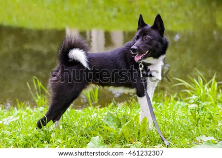 Husky dog standing on green meadow. Russian - European Laika is dog for hunting wild fowl and animals. Exhibition Stand dogs. Beautiful dog on a walk.