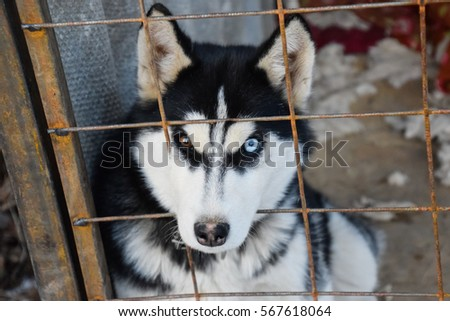 Husky Dog with different eyes. Black and white husky. Brown and blue eyes.
