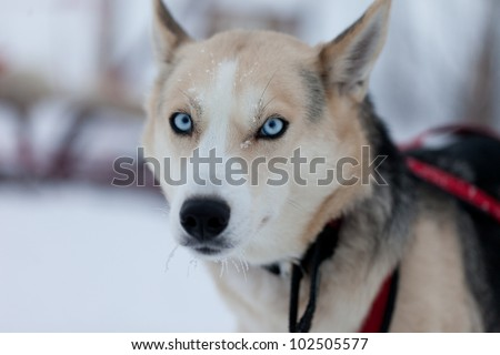 Husky dogs ready to go sledding, blue eyes