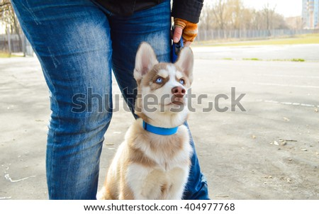 husky for a walk