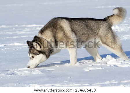 Husky in a snowy field in winter in Siberia