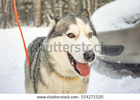 Husky in the woods in winter