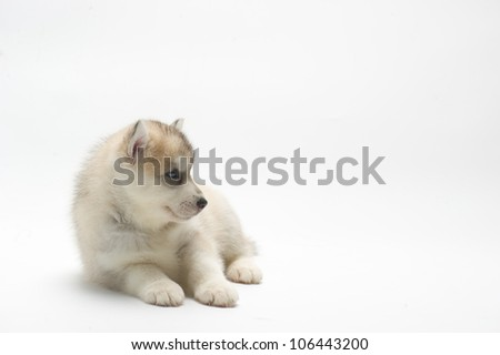 Husky in White background