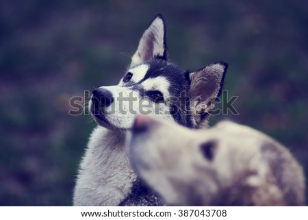 husky malamute mix outdoor dog pet portrait photo golden retriever dirty dogs - stock photo