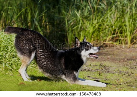 Husky Mix Dog with funny Expression in his head playing outside - stock photo