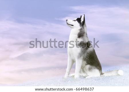 husky on the north - stock photo