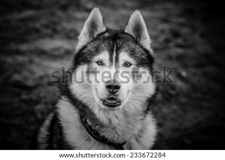 Husky portrait in black and white colors - stock photo