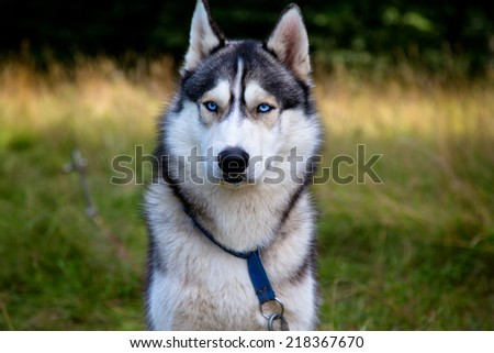 Husky portrait with blue eyes - stock photo