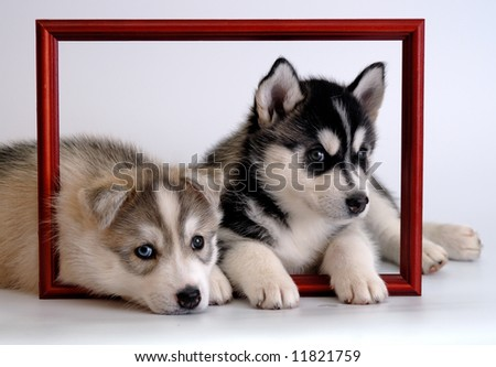 husky puppies - stock photo