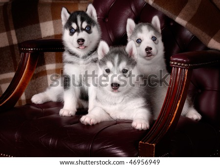 Husky puppies in an old chair - stock photo