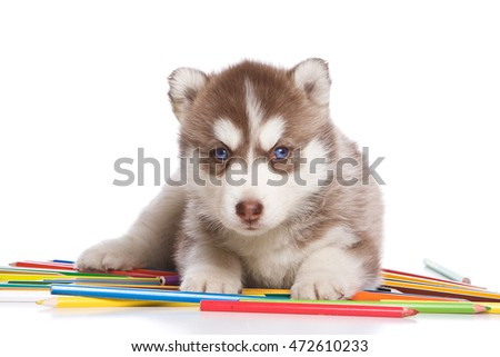 Husky puppy dog with blue eyes with pencils (isolated on white)