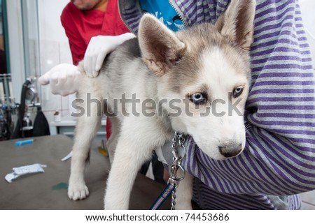 Husky puppy getting a vaccine