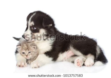 Husky puppy hugging scottish kitten. isolated on white background