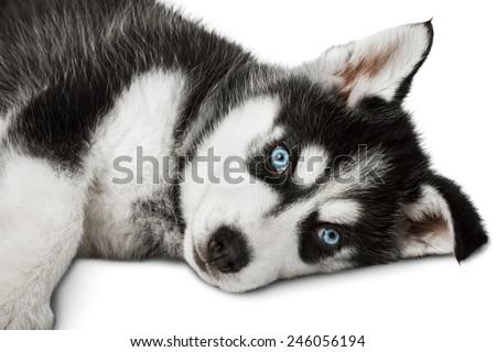 Husky puppy laying. Isolated on white background. - stock photo