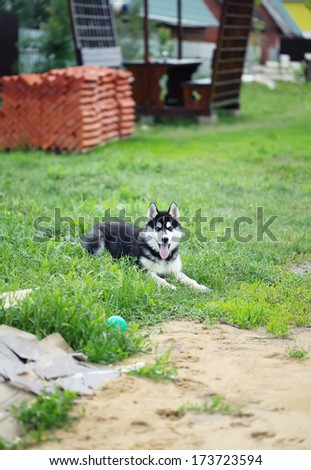 husky puppy lying on the grass near the pile of bricks - stock photo