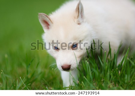 Husky puppy on a green grass in autumn