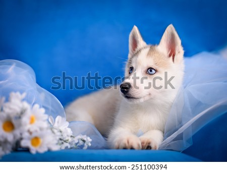 Husky puppy with a flower of daisies on blue background - stock photo