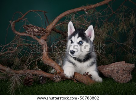 Husky puppy with a pine - stock photo