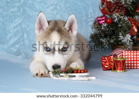 husky puppy with gifts and christmas decorations