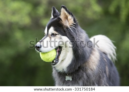 husky running in tall grass playing with a ball