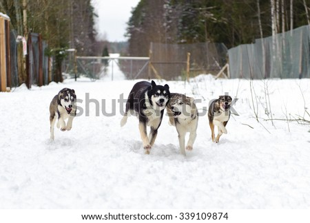 Husky running in winter