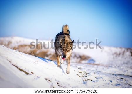 Husky running on snowy hills at sunny day - stock photo