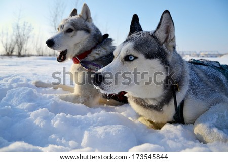 Husky sled in the snow - stock photo