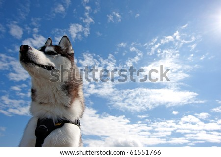Husky with a blue sky and clouds