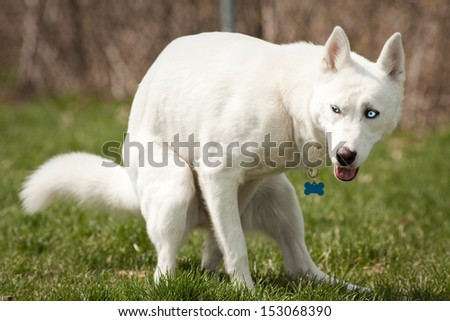 Husky with blue eyes pooping in a dog park - stock photo