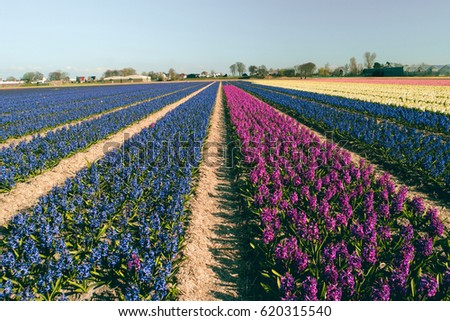 Hyacint blul lines at a Beautiful day in April at the colorful Spring flower fields by Lisse Netherlands Holland 2017