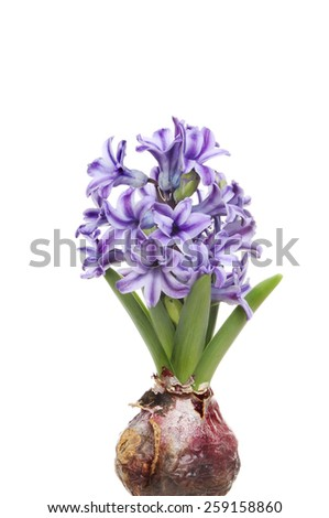 Hyacinth bulb green shoots and blue flowers isolated against white - stock photo