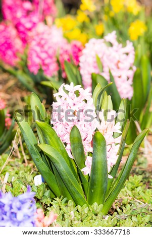 Hyacinth flower in the flowerbed of a garden - stock photo