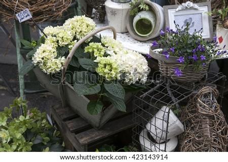 Hyacinth flower pot and campanula - stock photo