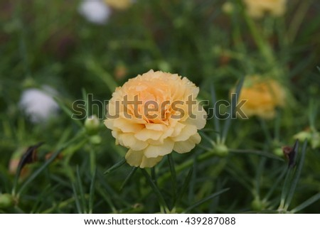 Hyacinth flowers blooming flower blooming Portulaca  - stock photo