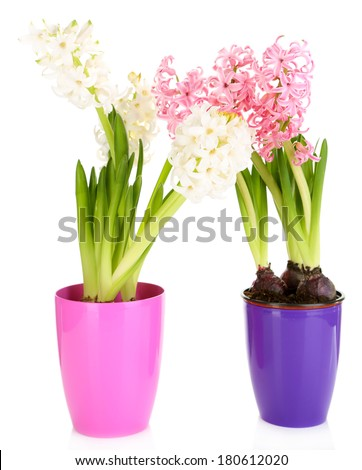 Hyacinth flowers in pots isolated on white