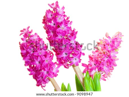 hyacinth isolated over white