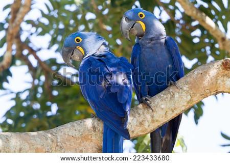 Hyacinth macaw - stock photo